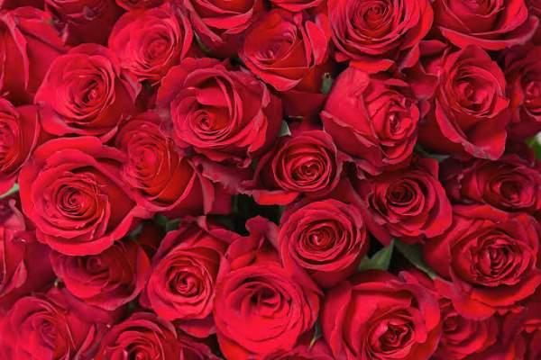 گل رز برای هدیه ولنتاین